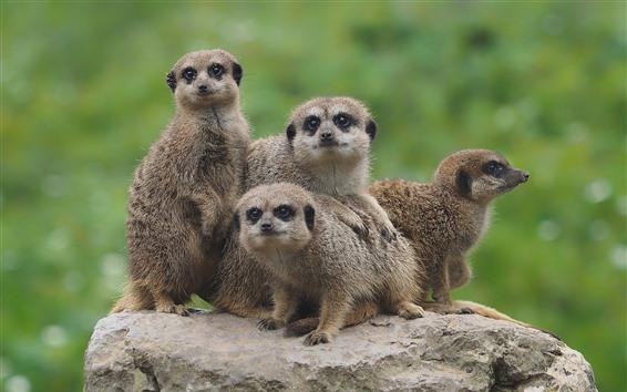 Papéis de Parede Animais fofos, quatro suricatos, pedra