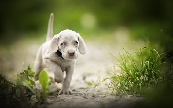 Обои Милый щенок ходьба, трава, боке