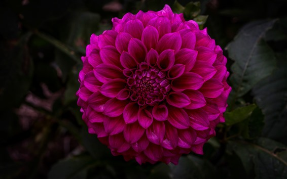 Wallpaper Dahlia, purple flower, garden