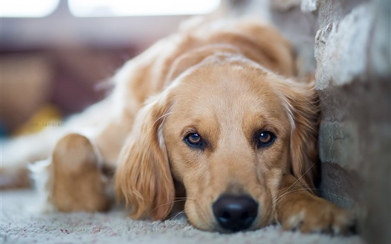Hintergrundbilder Vorderansicht des Hundes, Augen, Rest