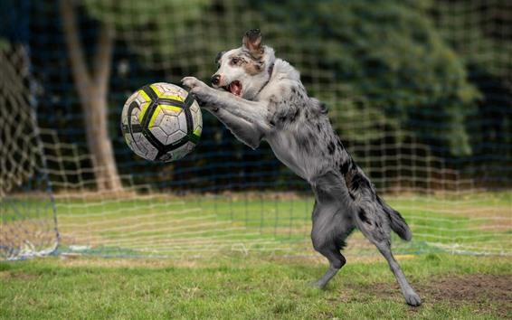 Wallpaper Dog play football, grass, funny animal