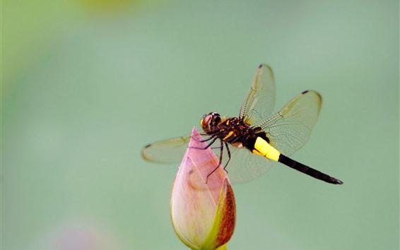 Wallpaper Dragonfly, lotus buds