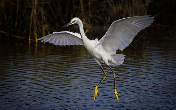 Wallpaper Egret, wings, water