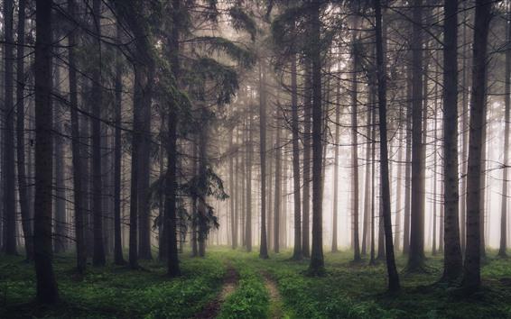 Papéis de Parede Floresta, árvores, neblina, caminho, cenário da natureza