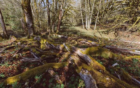 Papéis de Parede Floresta, árvores, musgo, luz solar