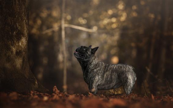 Wallpaper French bulldog, black dog, trees, autumn