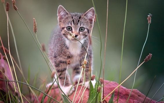 Wallpaper Furry kitten front view, grass
