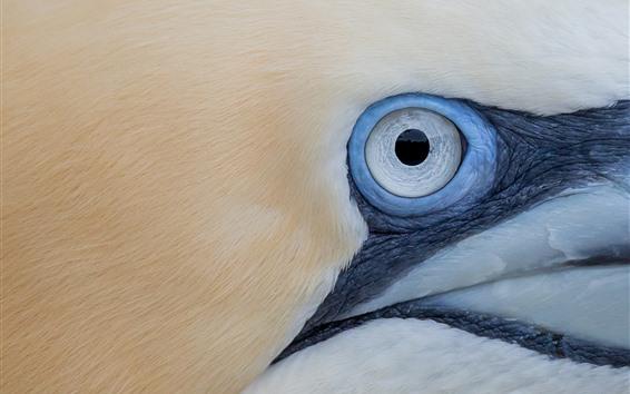Wallpaper Gannet eye macro photography