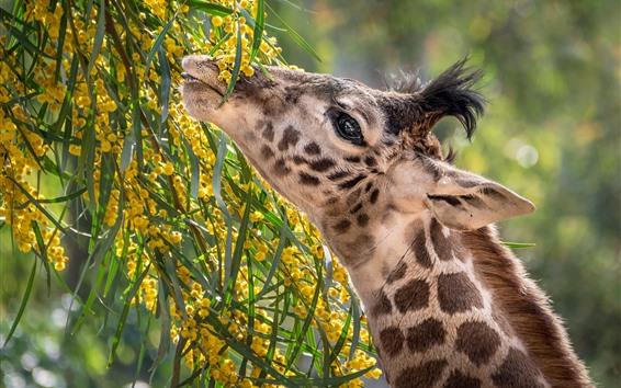 Обои Жираф, шея, еда, цветы