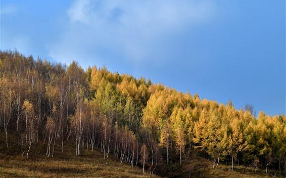 Wallpaper Gold autumn, birch forest, slope