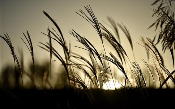 Wallpaper Grass, reeds, sunset