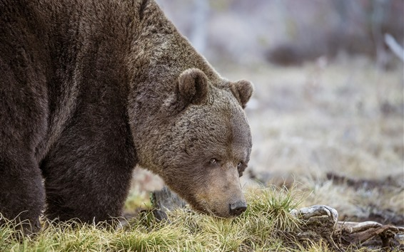 Wallpaper Gray bear, look, grass