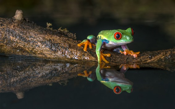 배경 화면 녹색 개구리, 물