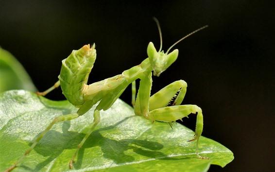 Papéis de Parede Inseto verde, mantis