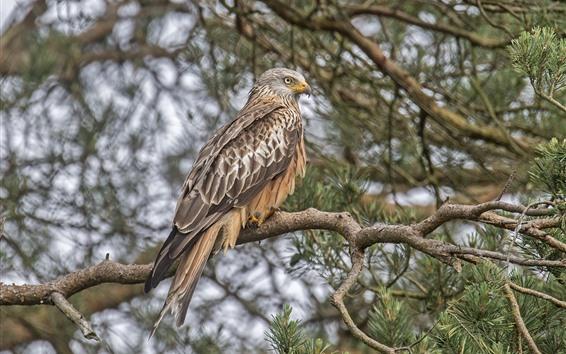 Papéis de Parede Falcão, pássaro, árvore, galhos