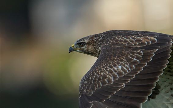 Papéis de Parede Falcão, pássaro, asas, vôo