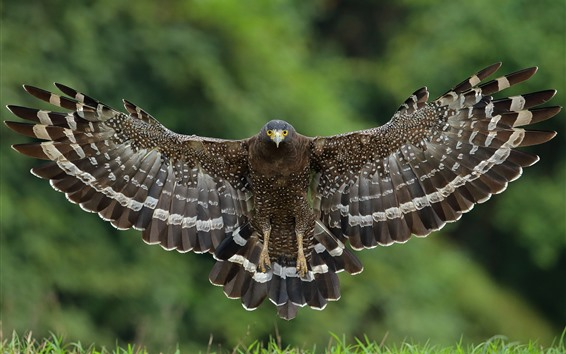 Papéis de Parede Falcão asas abertas, voo