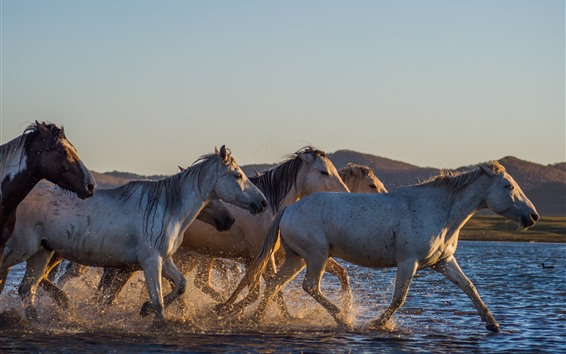Обои Лошади, идущие в воду