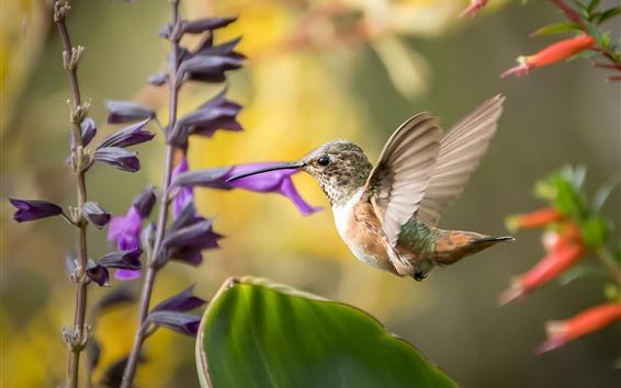 Papéis de Parede Beija-flor, voo, flores roxas e vermelhas