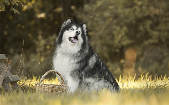 Wallpaper Husky dog, grass, basket