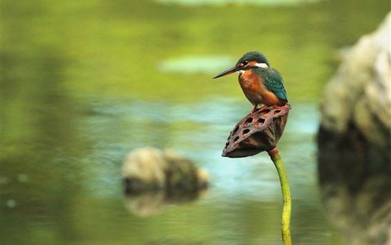 Papéis de Parede Martim-pescador, lótus, lagoa