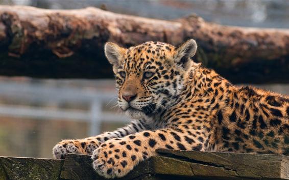 Wallpaper Leopard, cute animal