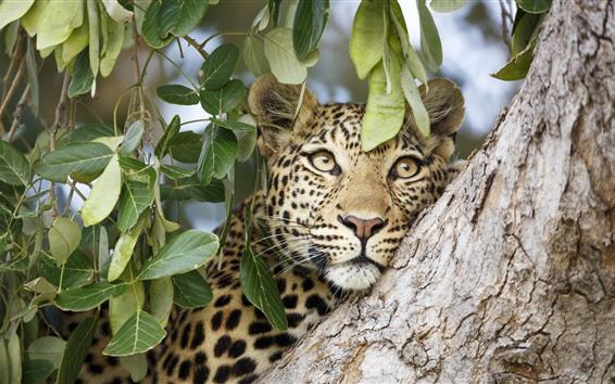 Papéis de Parede Leopardo, rosto, árvore, folhas