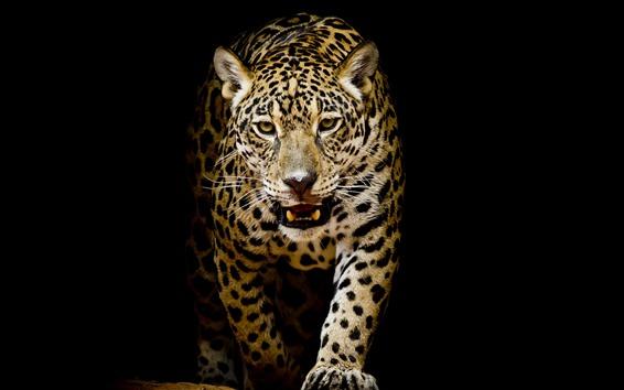 壁纸 豹子走向你,黑色背景
