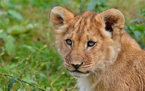 Обои Лев детеныш смотреть на тебя