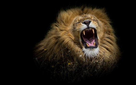 Wallpaper Lion yawn, black background