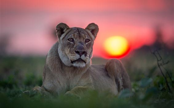 Papéis de Parede Leoa, gato selvagem, cara, pôr do sol
