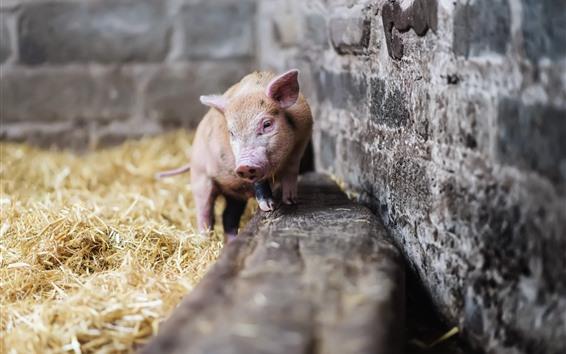 Wallpaper Little pig, hay