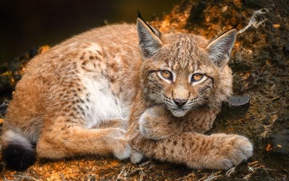 Papéis de Parede Lynx, olhe, descanse, olhos amarelos