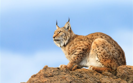 Wallpaper Lynx, rocks, blue sky