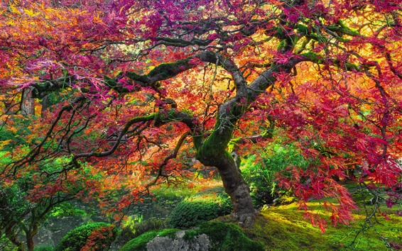 Wallpaper Maple tree, red leaves, autumn