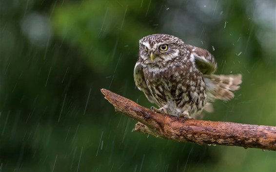 Wallpaper Owl in the rain