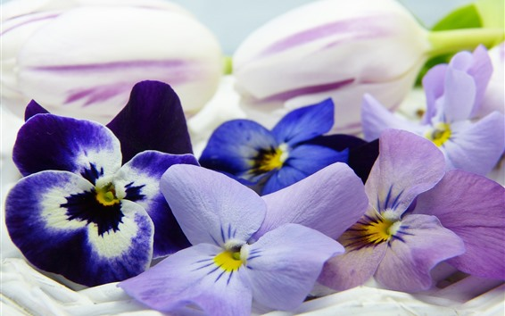 Wallpaper Pansy, colorful flowers