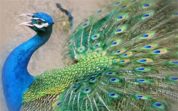 Wallpaper Peacock, beautiful tail feathers