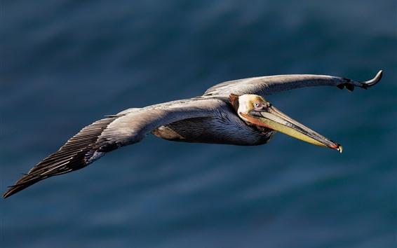 Обои Полет Пеликан, крылья