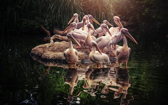 Обои Пеликаны, птицы, вода