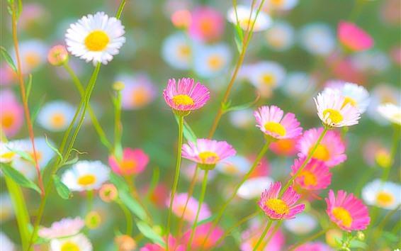 Papéis de Parede Crisântemo rosa e branco, nebuloso, Primavera