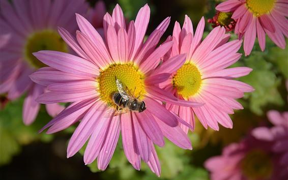 Wallpaper Pink chrysanthemum, petals, bee