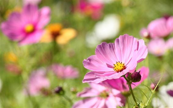 배경 화면 핑크 코스모스, 봄 꽃