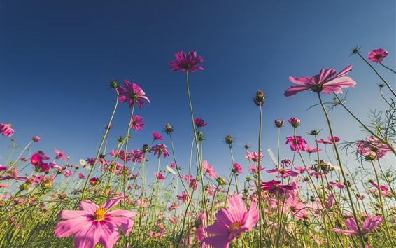 Wallpaper Pink flowers, cosmos, blue sky