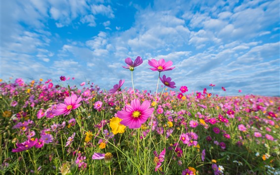 Fond d'écran Fleurs roses, cosmos, prairie, été