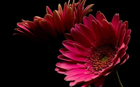 Papéis de Parede Flor gerbera rosa, pétalas, fundo preto