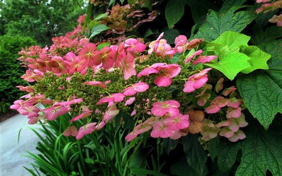 배경 화면 핑크 수국, 녹색 잎