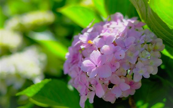 배경 화면 핑크 수국, 꽃이 핌, 봄