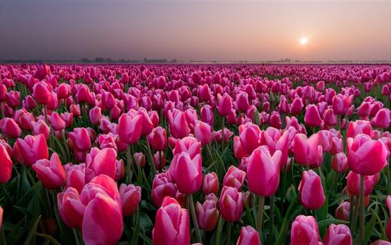 배경 화면 핑크 튤립 필드, 일몰, 네덜란드
