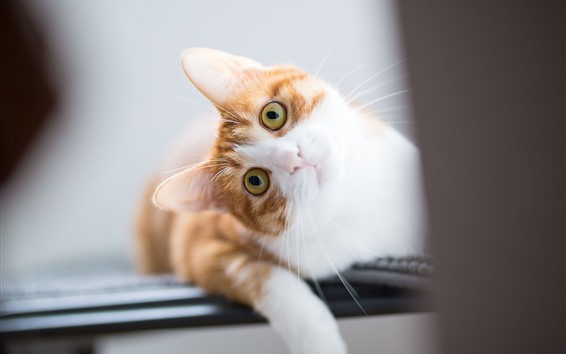 壁紙 遊び心のある猫、あなたを見て、かすかな
